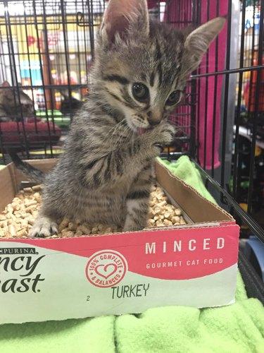 Kitten in pet store