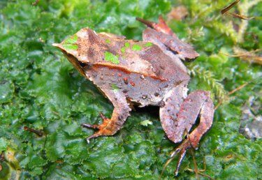 South American Darwin frog