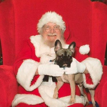 Unimpressed dog standing on Santa's lap.