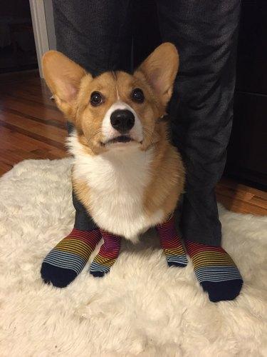 Corgi wearing stripes socks standing between the legs of a person wearing matching socks