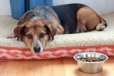 Dog laying next to bowl refusing to eat