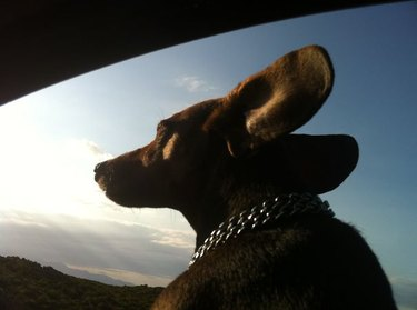 Dog in car with ears flapping.