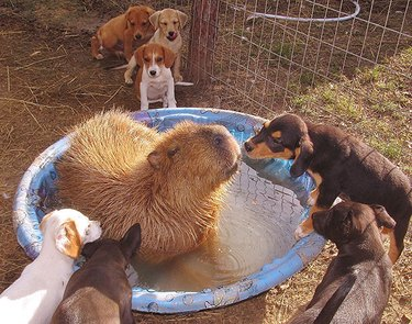 Capybara in kiddie pool surrounded by puppies.