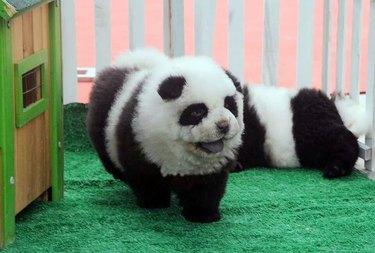 Dog dressed as a panda.
