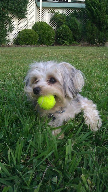Very small dog with proportionally small ball.