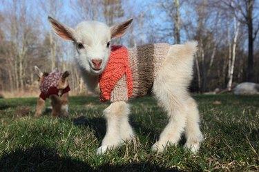 Lamb in sweater.