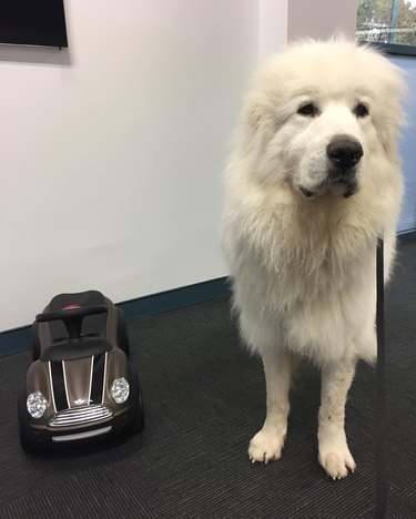Dog next to miniature car.
