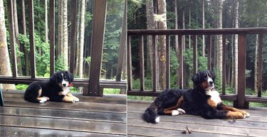 Side by side photos of dog as a puppy and dog as an adult.