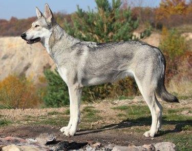Saarlos Wolfdog outside