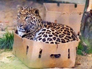Cheetah in cardboard box
