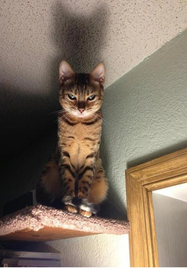 Dramatic cat on high shelf.