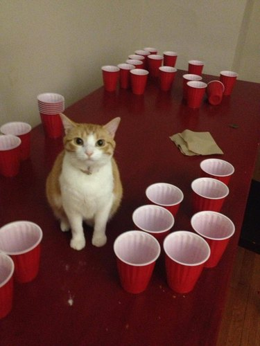 Cat sitting on table with beer pong setup.