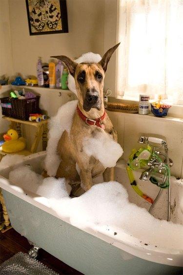Great Dane in bubble bath.