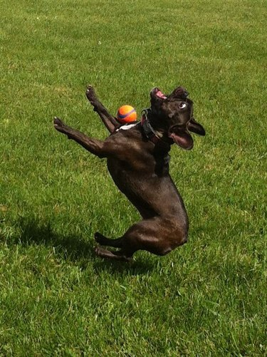 Boston terrier failing to fetch ball.