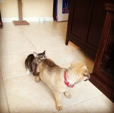 Cat sticking its nose into a puppy's rear end.