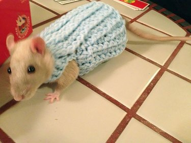Tan colored rat in light blue sweater.
