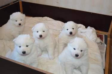 Plump Puppies Prove All The Good Things In Life Are Chubby