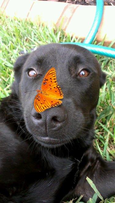 Butterfly on dog's nose.