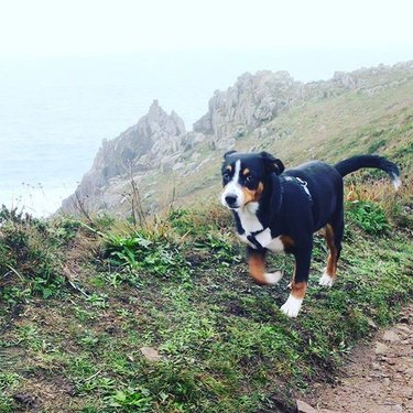 Entlebucher on mountain