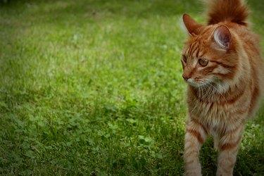 Orange cat in grass.