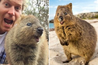 Quokkas Are The Cutest Critters You Should Probably Be Taking A Selfie With