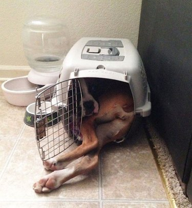 Big dog in small crate