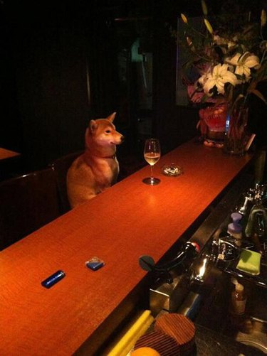 Shiba Inu drinking alone at bar is all of us.
