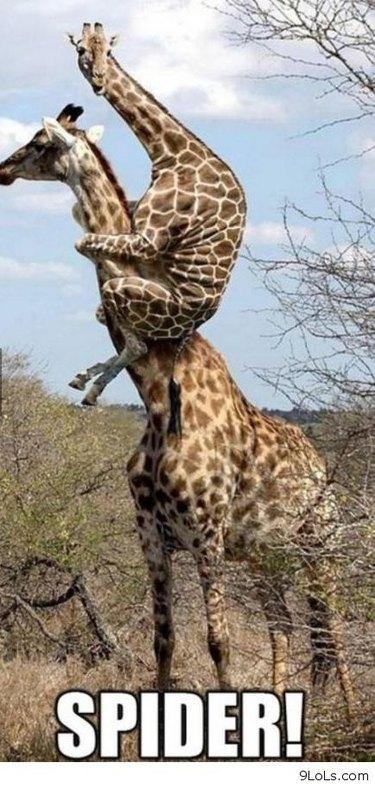 Giraffe on back