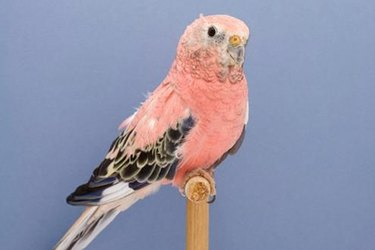 Differences Between Male & Female Rosy Bourke's Parakeets
