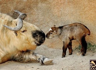 Adult and baby takin.