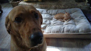 Sad looking dog in foreground, with cat on big dog bed in background