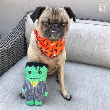 Unhappy pug with Halloween bandanna