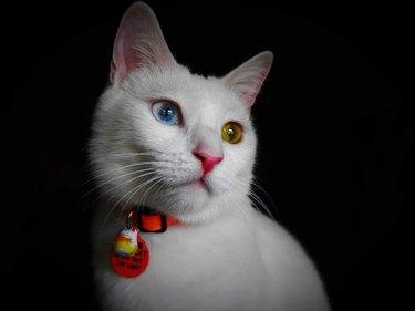 Athena the white cat on black background