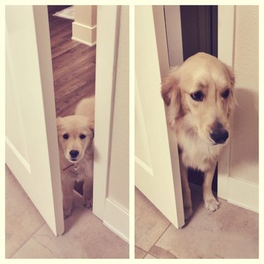 dog standing in door way as a puppy and then as a big dog