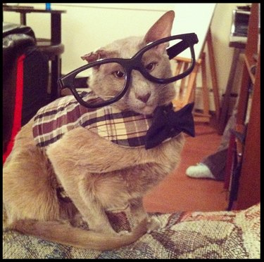 Cat wearing oversize glasses and a bow tie