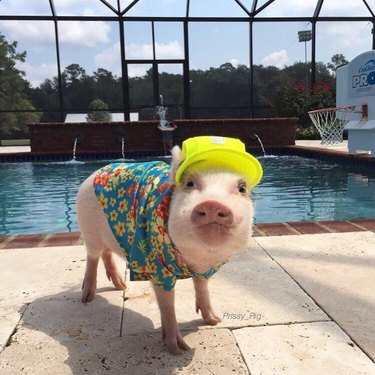 Pig wearing baseball hat and Hawaiian shirt.