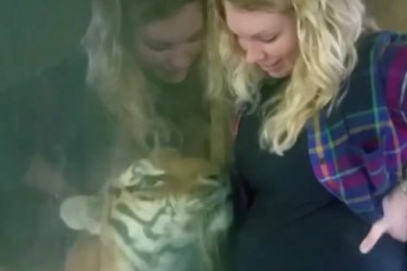 Tiger at Indiana zoo bonds with pregnant woman through glass divider