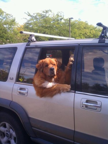 Dog hanging out car window.