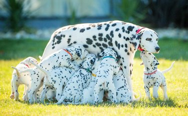 This Dalmatian Just Gave Birth to 18 Puppies — Sure, It's Not 101, But It's Still a Lot