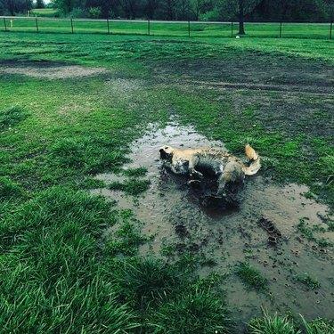 Dog rolling in mud