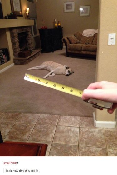 Measuring tape in foreground held up to dog in background. Caption: look how tiny this dog is