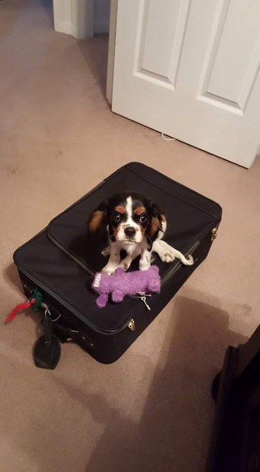 Small dog sitting on suitcase.