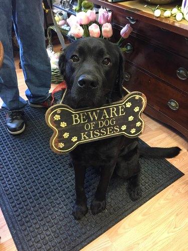 "Dog wearing ""Beware of Dog Kisses"" sign."