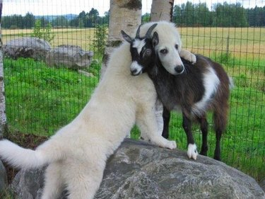 Dog and goat hugging.