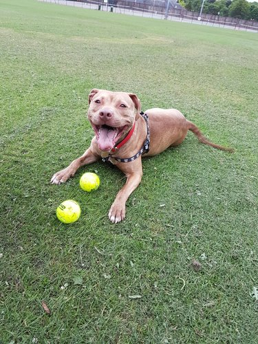 Happy dog with two tennis balls.