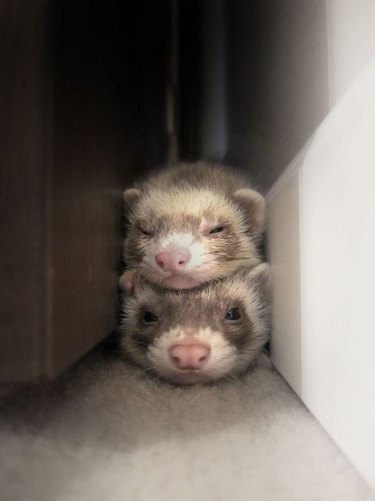 Two ferrets lying on top of one another.