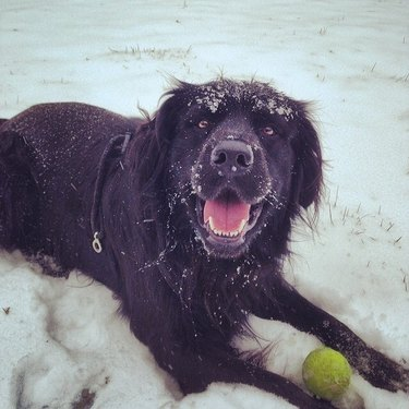 Dog lying in snow with tennis ball.