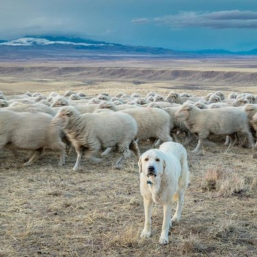Akbash with sheep