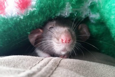 17 Pictures of Rats Being The Most Adorable Pets