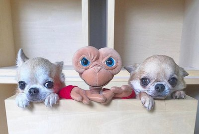 Are Chihuahuas Actually Just Furry Aliens? Instagram Account Spurs Investigation